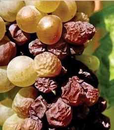 Виноград для токайского вина