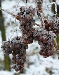 Виноград замороженный на ветке