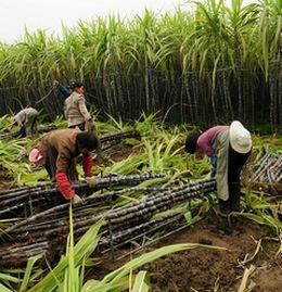 Заготовка сахарного тростника