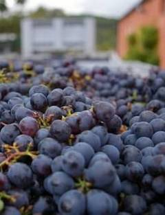 Виноград для Кьянти Санджовезе