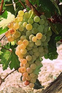 Виноград для хереса