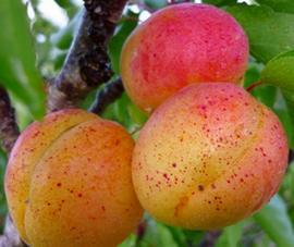 Спелые абрикосы для наливки