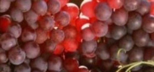 Дальневосточный виноград